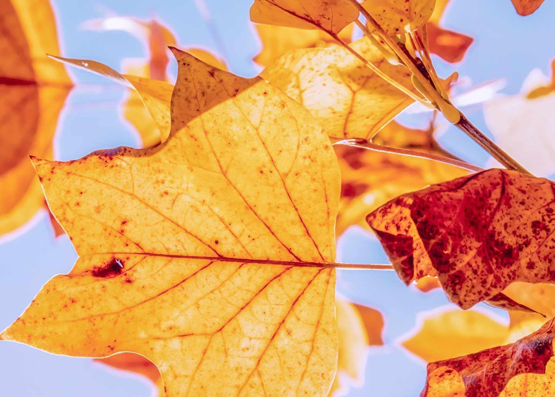 Herbstlaub in seiner typischen Farbpracht